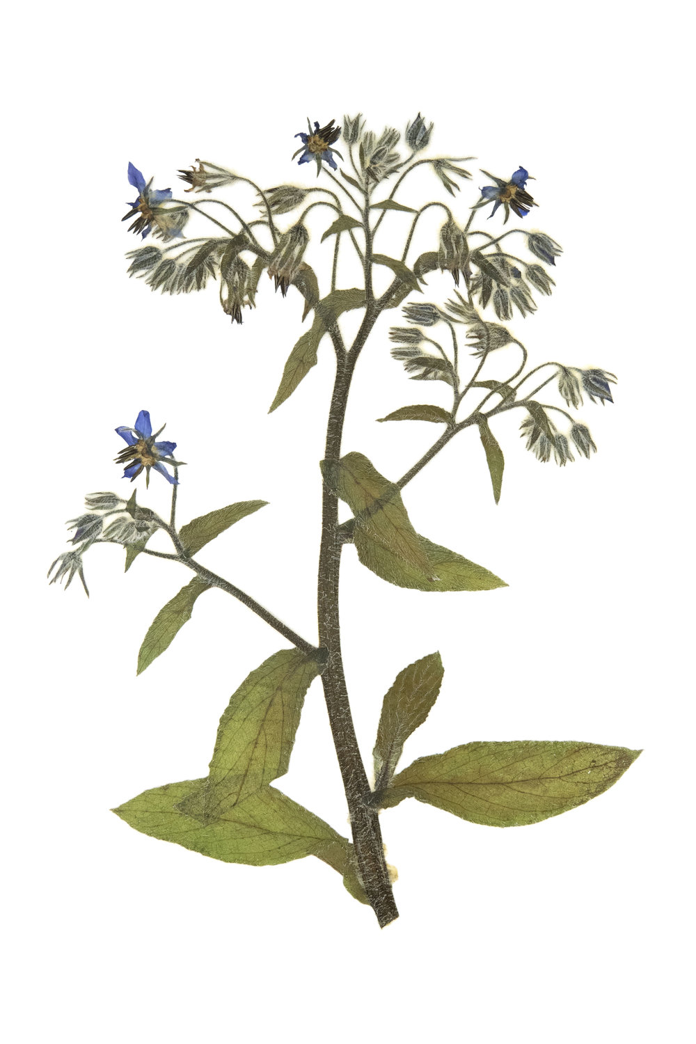 New! Borage / Borago officinalis