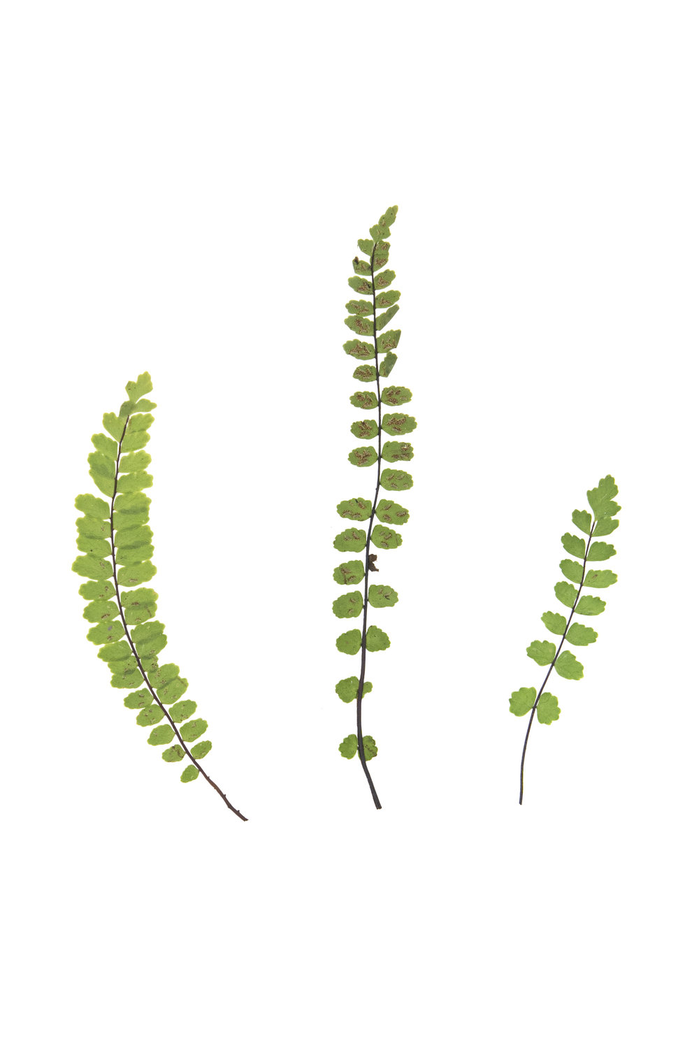 New! Maidenhair Spleenwort / Asplenium trichomanes