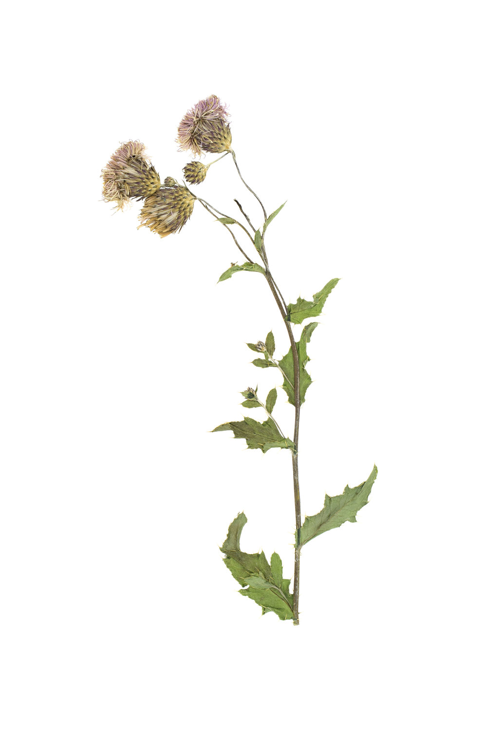 New! Creeping Thistle / Cirsium arvense