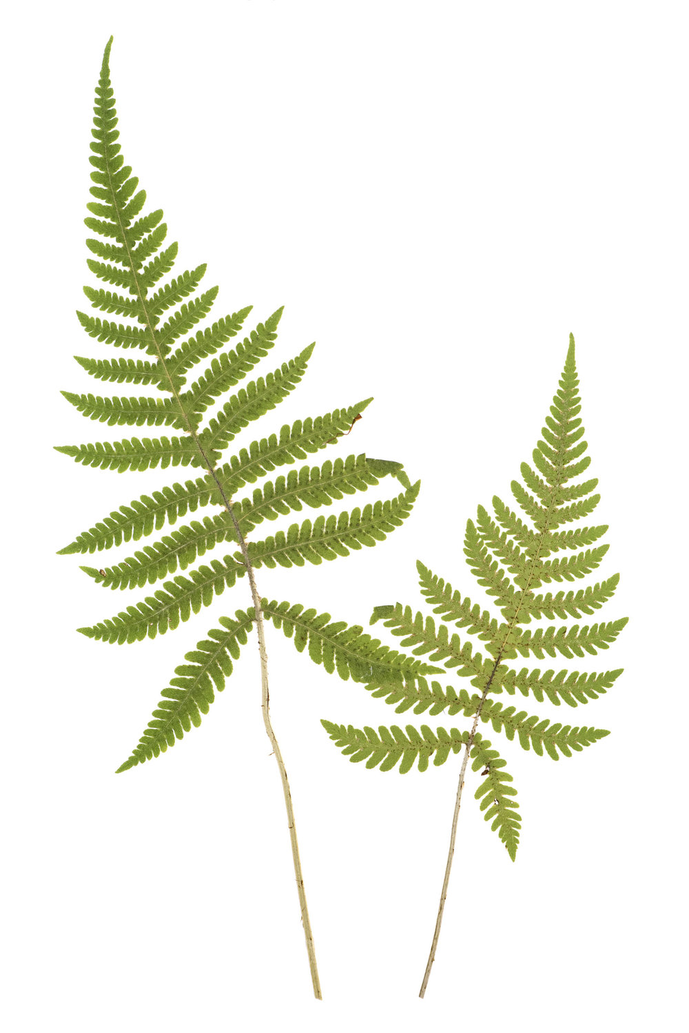 New! Phegopteris connectilis / Long Beech Fern
