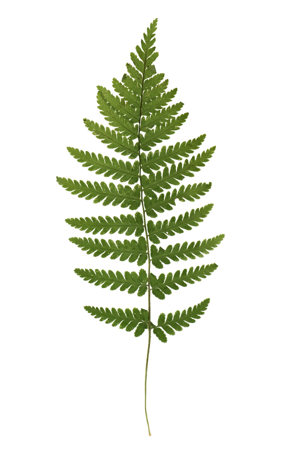 New! Dryopteris carthusiana / Spinulose Wood Fern