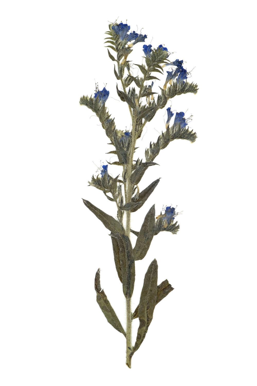 New! Echium vulgare / Viper's Bugloss
