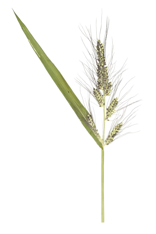 New! Echinochloa crus galli / Barnyard Millet