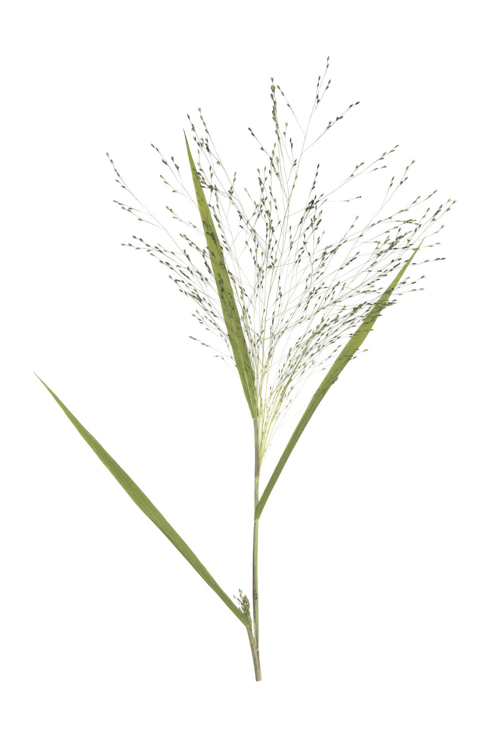New! Panicum capillare / Witchgrass
