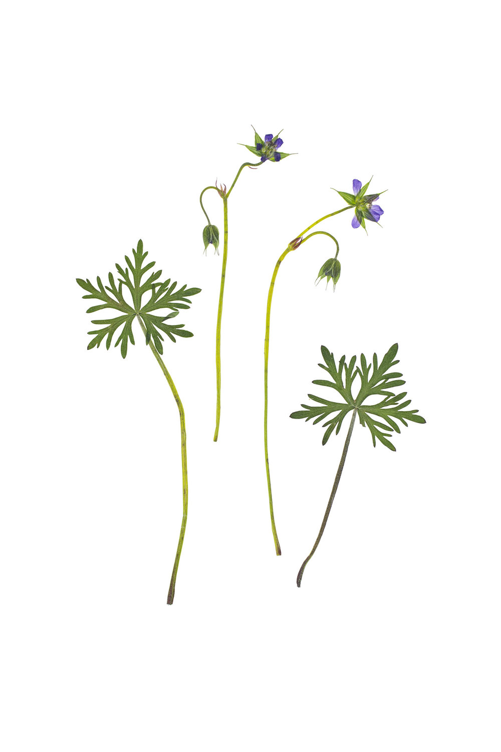 New! Geranium columbinum / Long Stalked Cranesbill