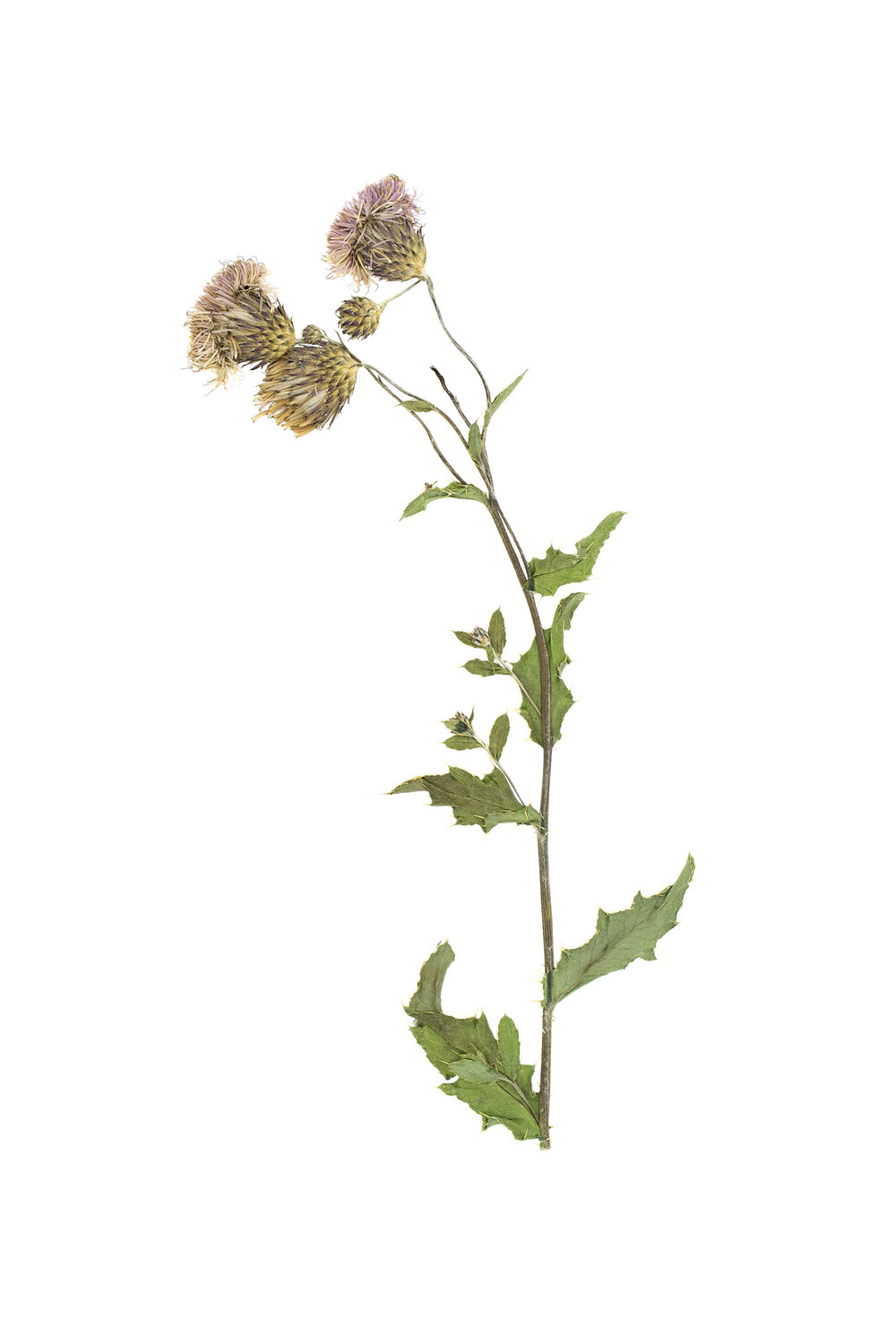 New! Cirsium arvense / Creeping Thistle