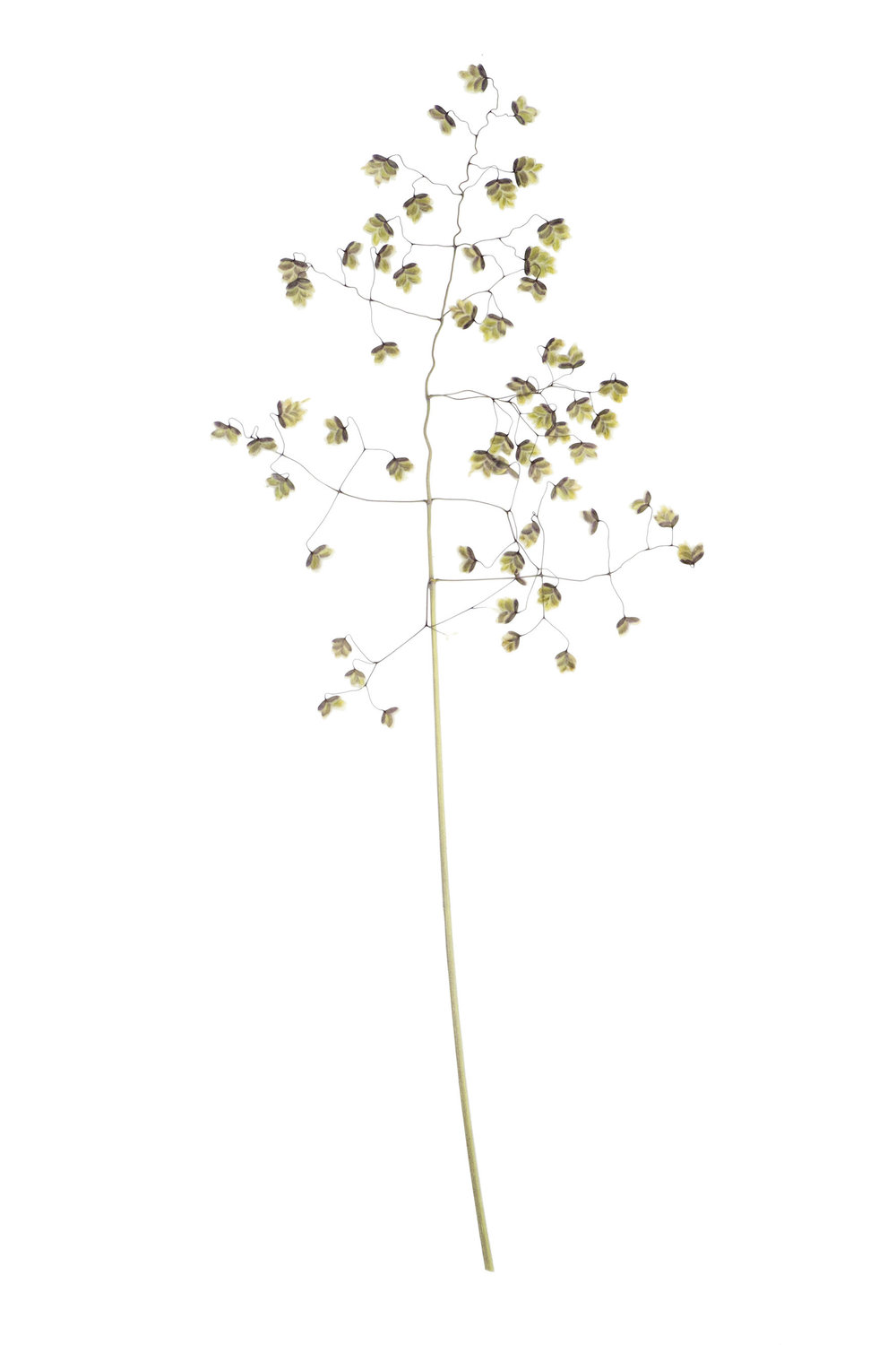 New! Briza media / Quaking Grass