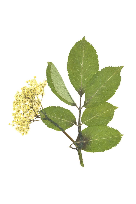New! Sambucus nigra / Elderberry