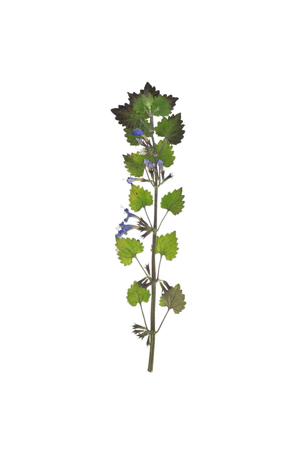 New! Ground Ivy / Glechoma hederacea