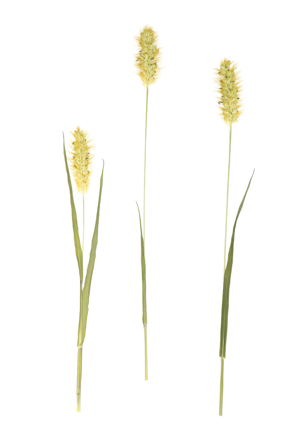New! Yellow Foxtail / Setaria pumila