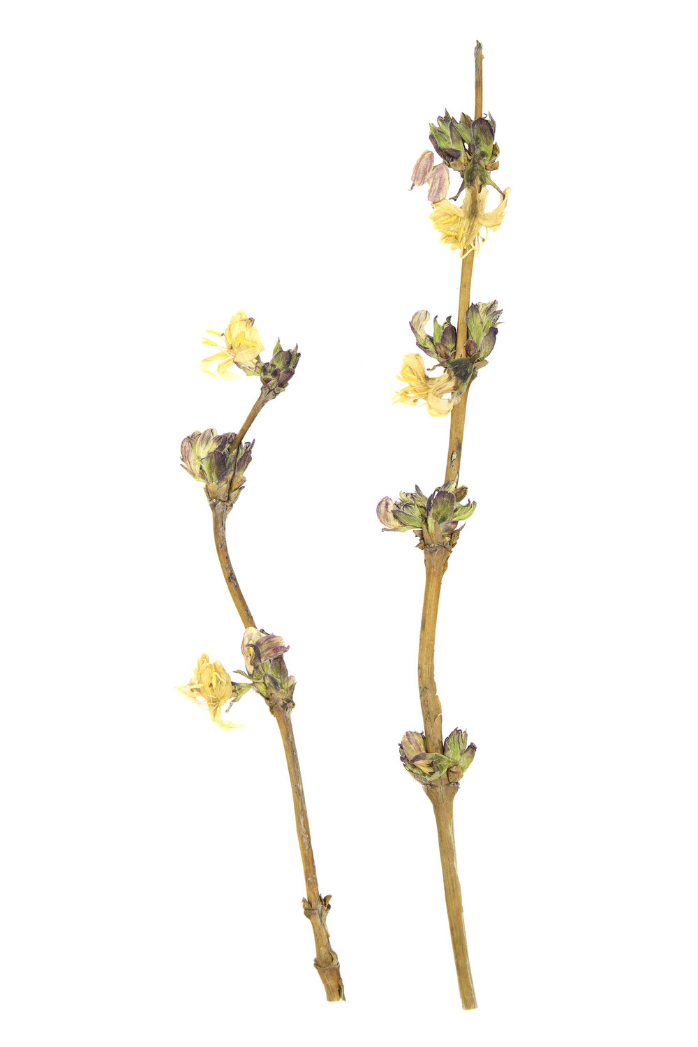 New! Winter Honeysuckle / Lonicera fragrantissima