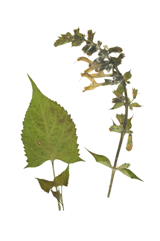 New! Salvia glutinosa / Sticky Sage