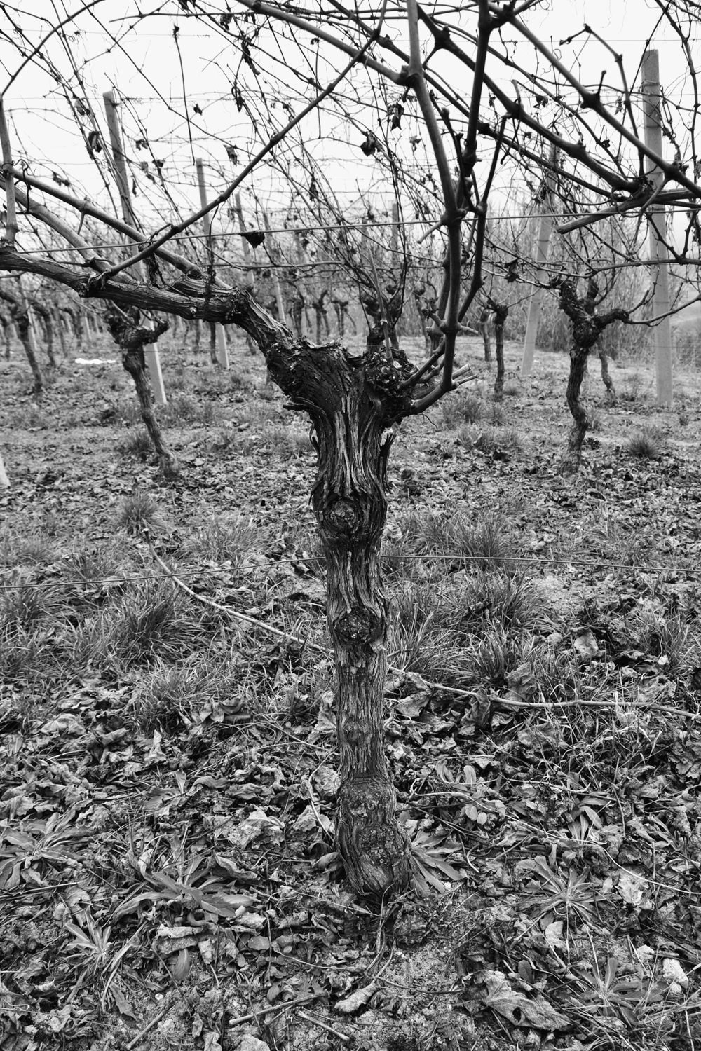 BARBERA: 26% - DOC Alto Monferrato • Tuff & marl layers • Slight slope • North-East facing • Green • Pruning style: Guyot • 25 years old • 6000kg/ha