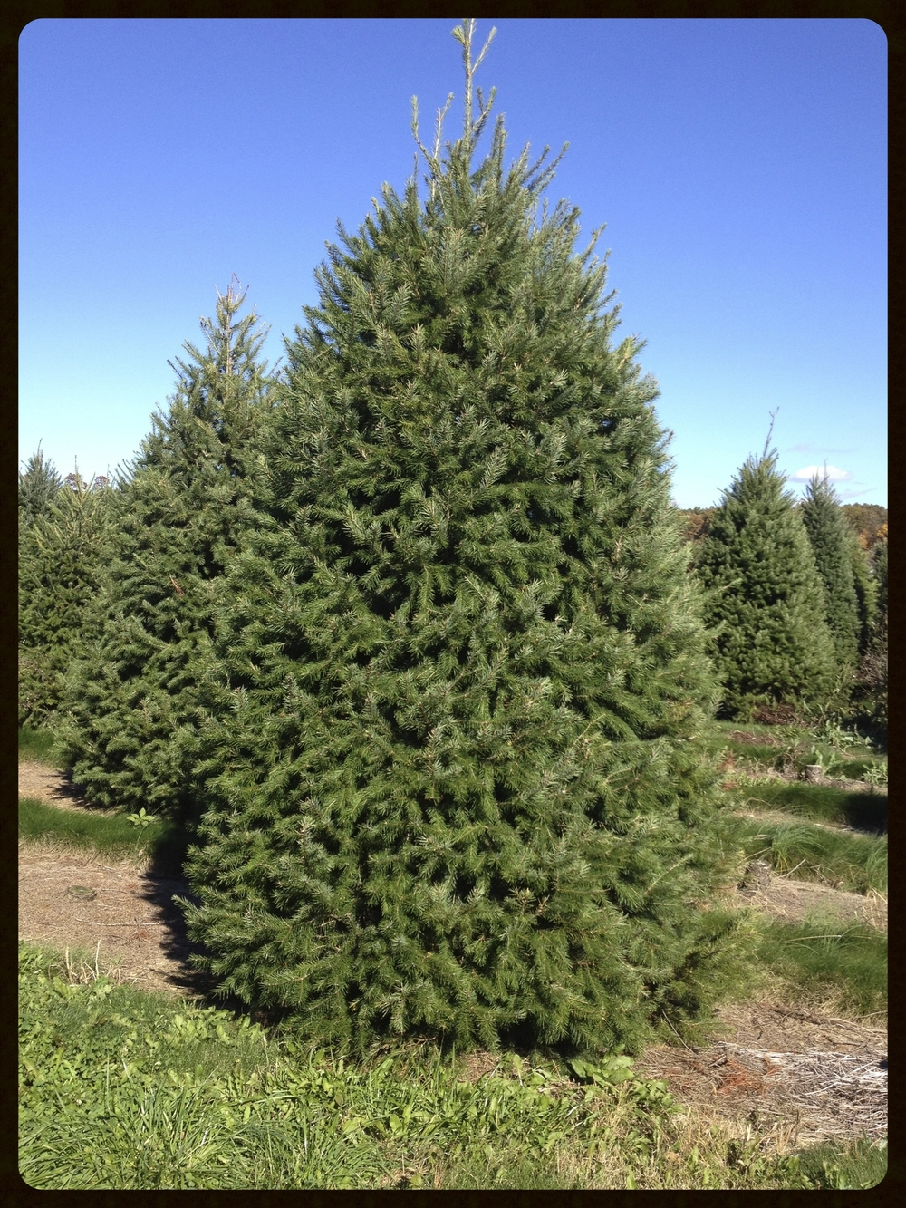 DOUGLAS FIR:  PRE-CUT UP TO 9' AND CUT-YOUR-OWN AVAILABLE UP TO 8'                                              COST:  UNDER 5' $33.00.    5'-8' $43.00.     OVER 8' $50.0