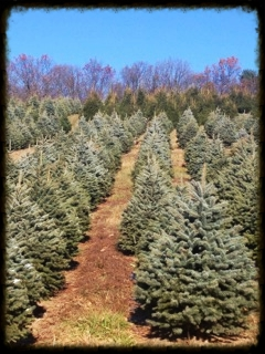 Trees from this Monroe County     location will fill our pre-cut racks      at our Retail location in Bath, PA.