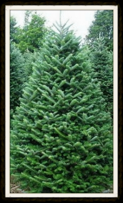 FRASER FIR (LIMITED SUPPLY IN FIELDS)    CUT-YOUR-OWN  ALL  $55 (AVAILABLE UP TO 8')    PRE-CUTS AVAILABLE UP TO 11'.    UP TO 8' $55    8'-9' $66    9'-10' $79    10'-11' $96