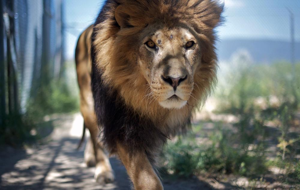 Retired movie lion