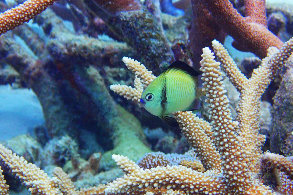 Headband humbug fish