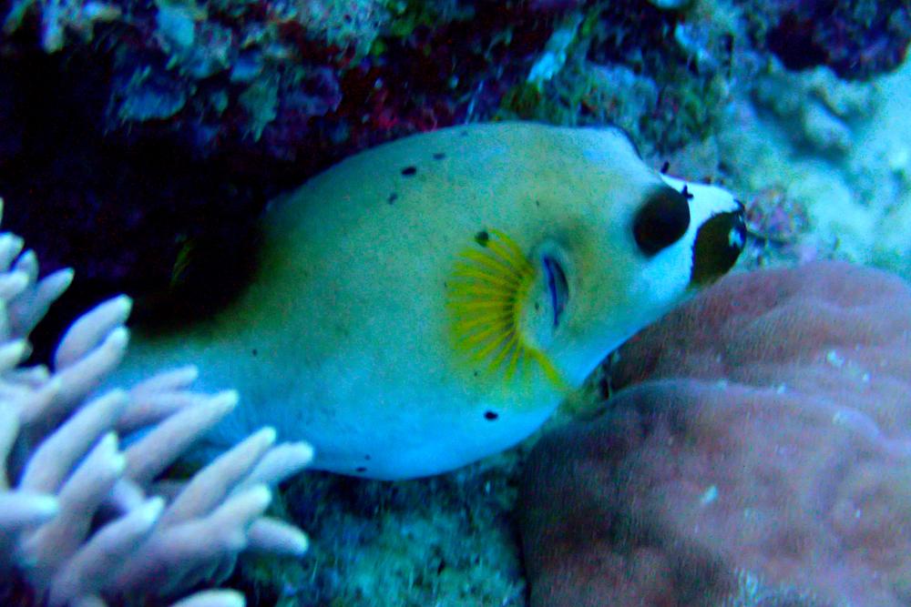 Seal-faced pufferfish