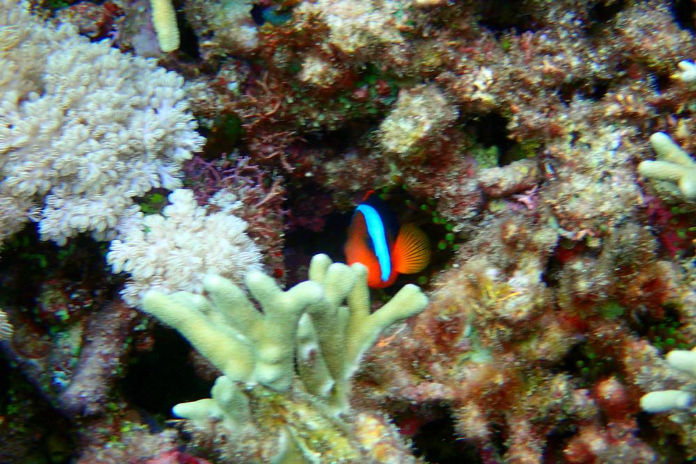Red anemonefish