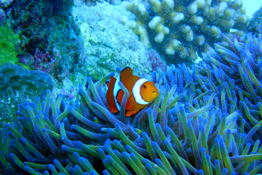 Orange clown anemonefish