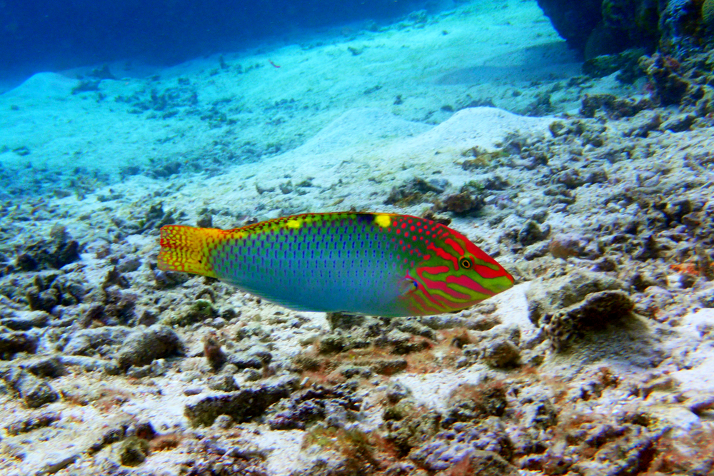 Green moon wrasse
