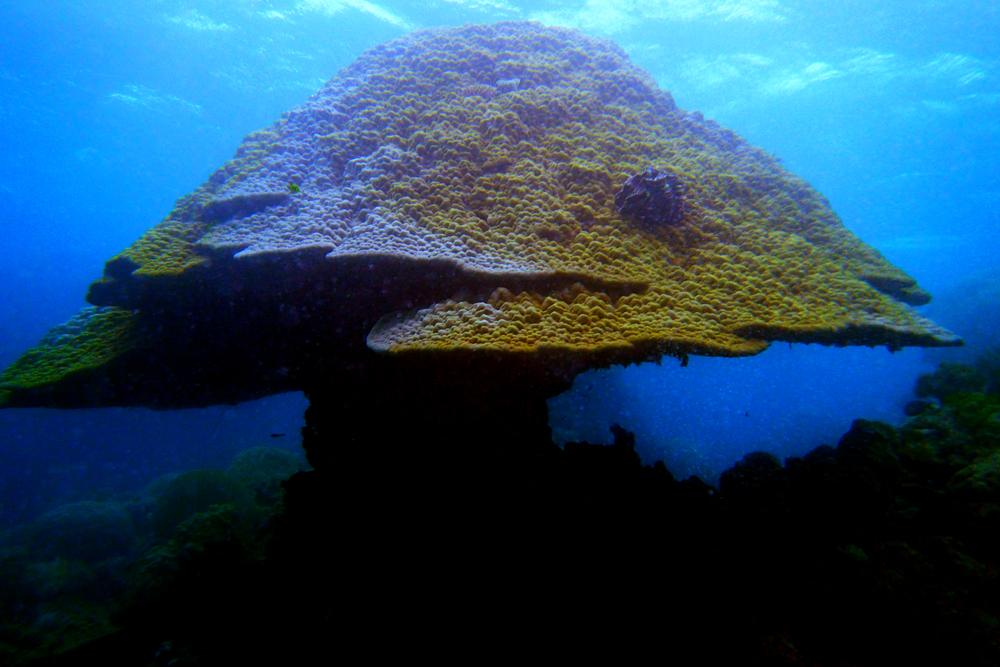 Huge mushroom shaped coral