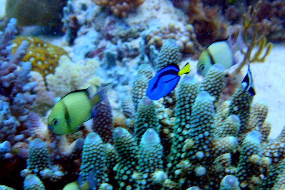 Blue tang or surgeon fish with headband humbug fish