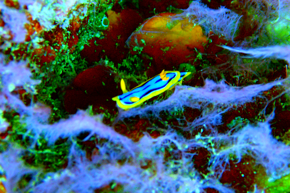Blue and orange nudibranch