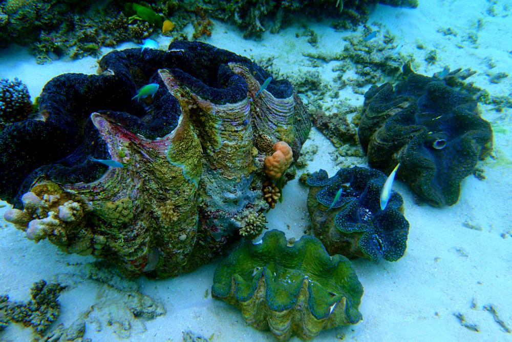 Giant clam garden