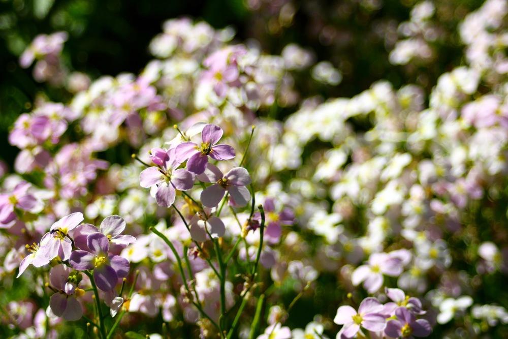 Flowers in Akureyri.