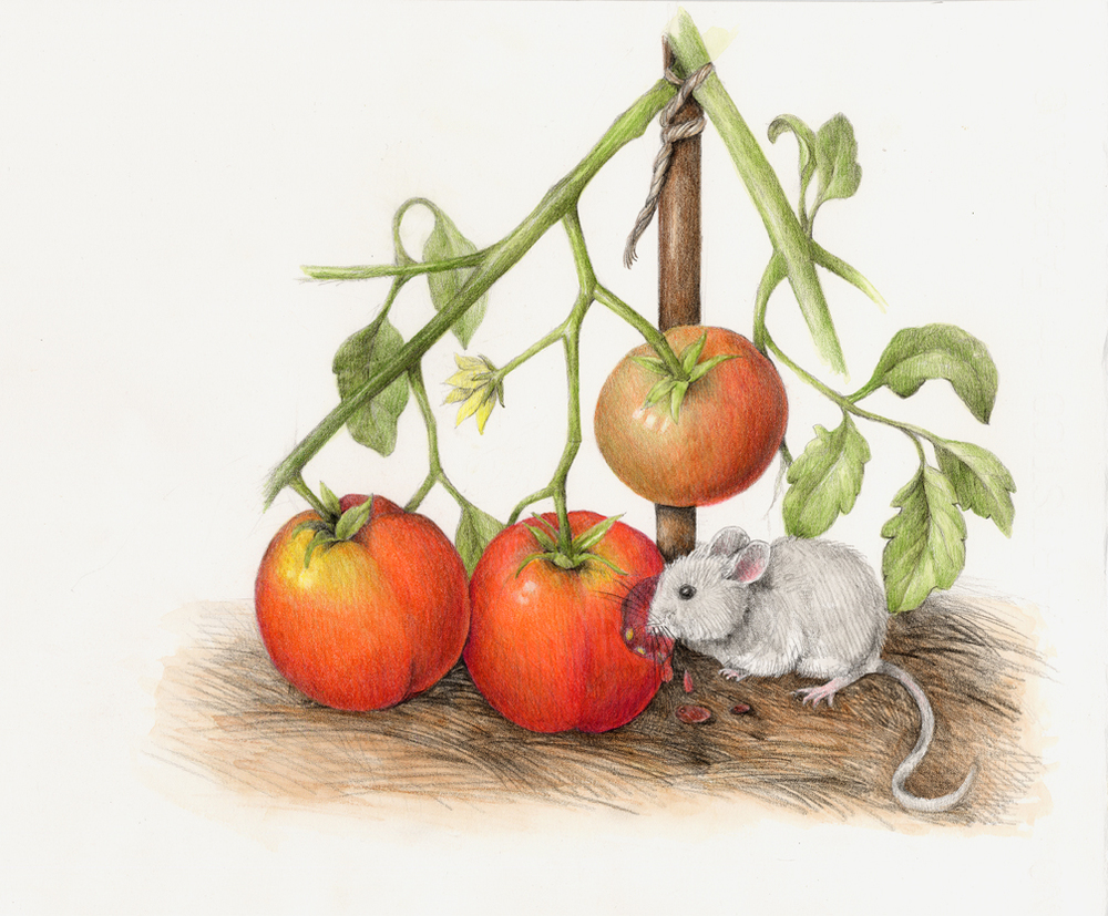 The mouse samples a tangy and tasty tomato