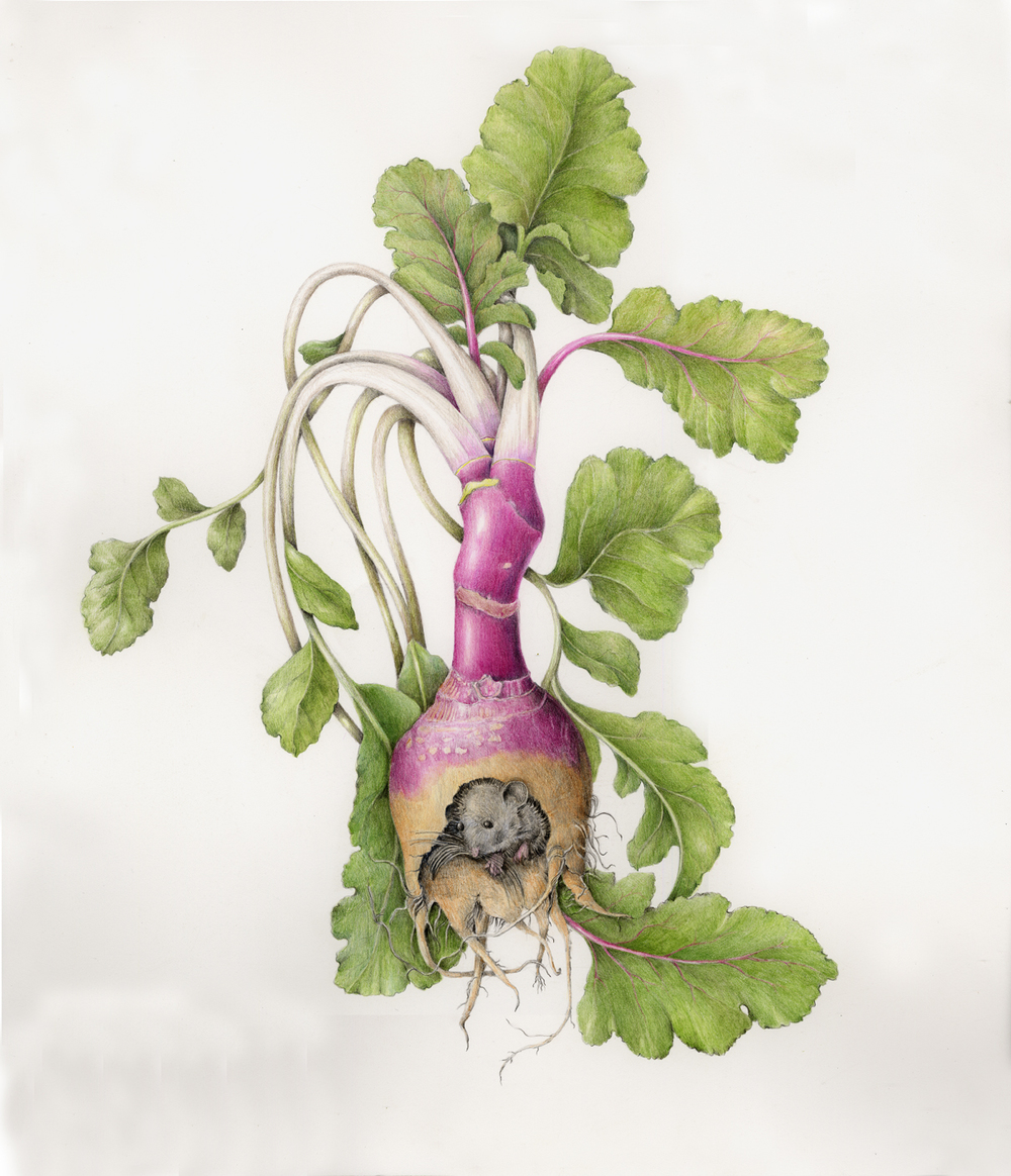 The Mouse In The Rutabaga Botanical Artist Illustrator Learn To