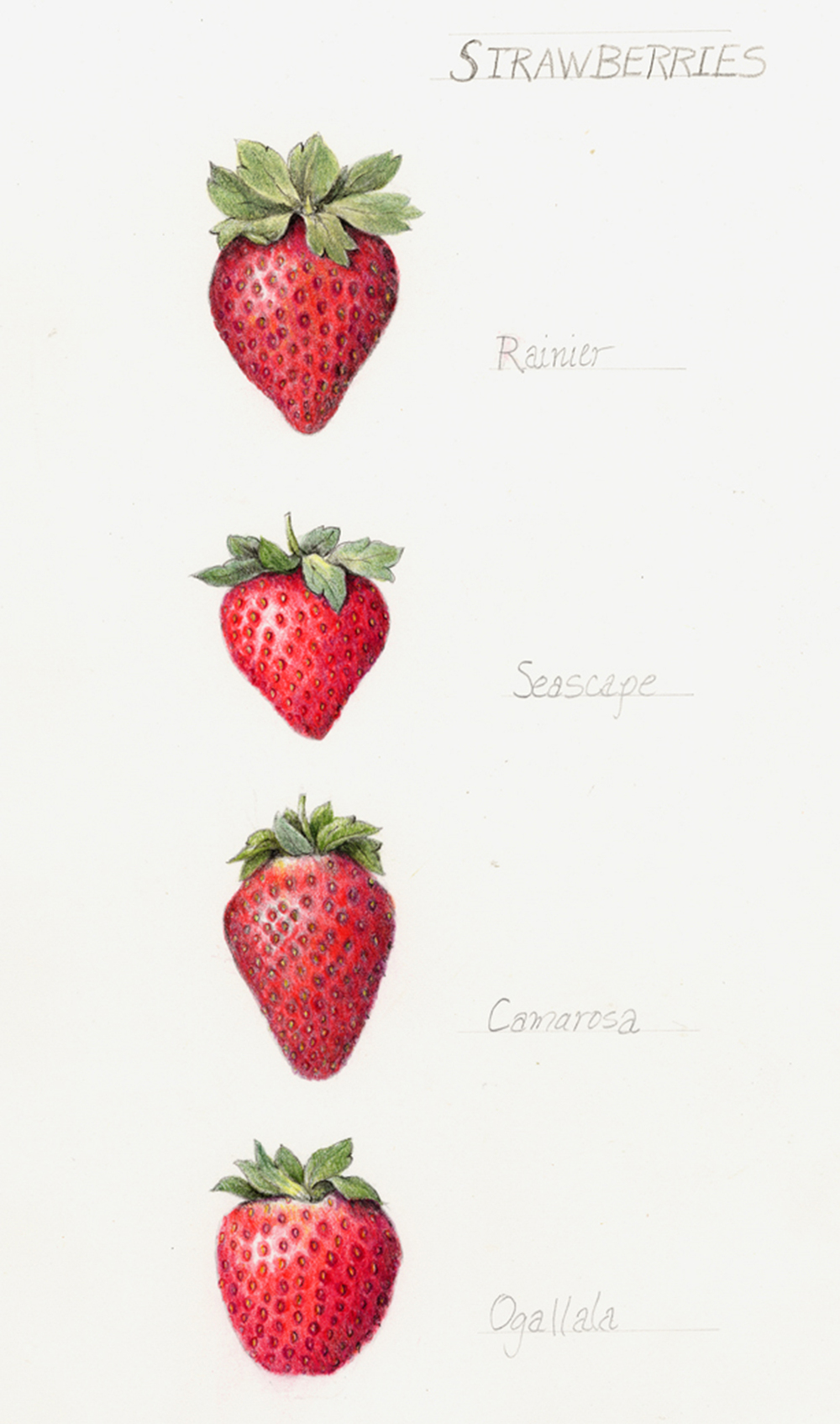 SUNSET MAGAZINE January 2013 Illustrations for an article about growing your own strawberries. Read the article online.
