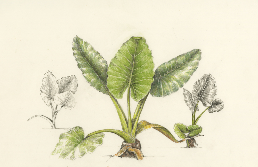 Canoe plants botanical artist illustrator learn to draw art apeelephant ear alocasia macrorrhiza ccuart Image collections
