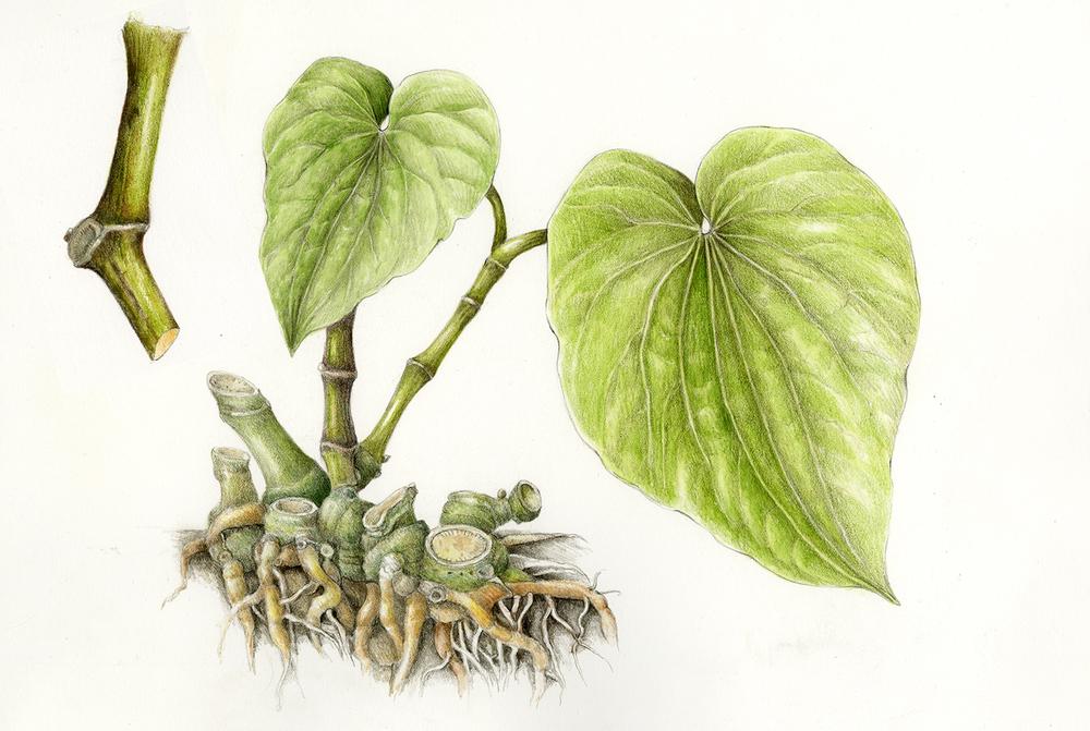 Awa/Kava - Piper methysticum