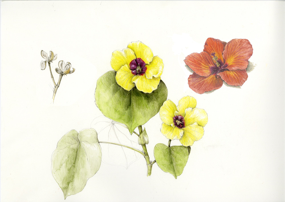 Hau - Hibiscus tiliaceus