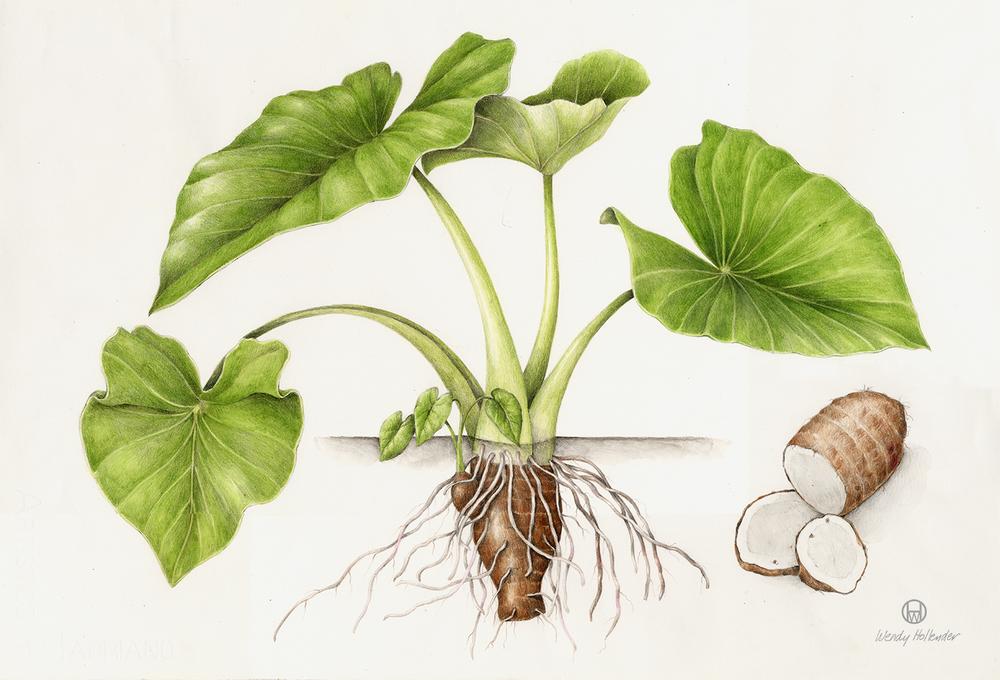 Kalo/Taro - Colocasia esculenta