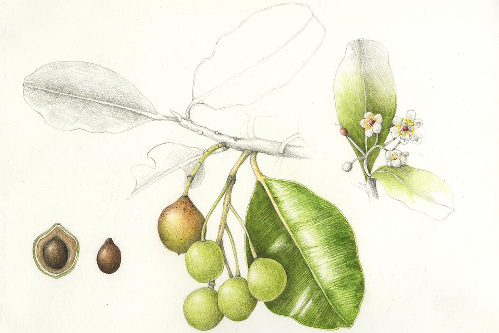 Kamani/Alexandrian Laurel - Calophyllum inophyllum