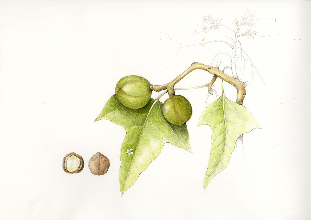 Kukui/Candlenut Tree - Aleurites moluccana