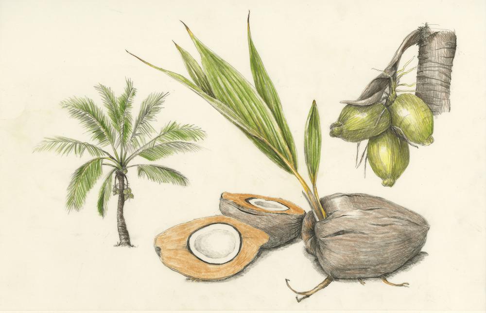 Niu/Coconut - Cocos nucifera