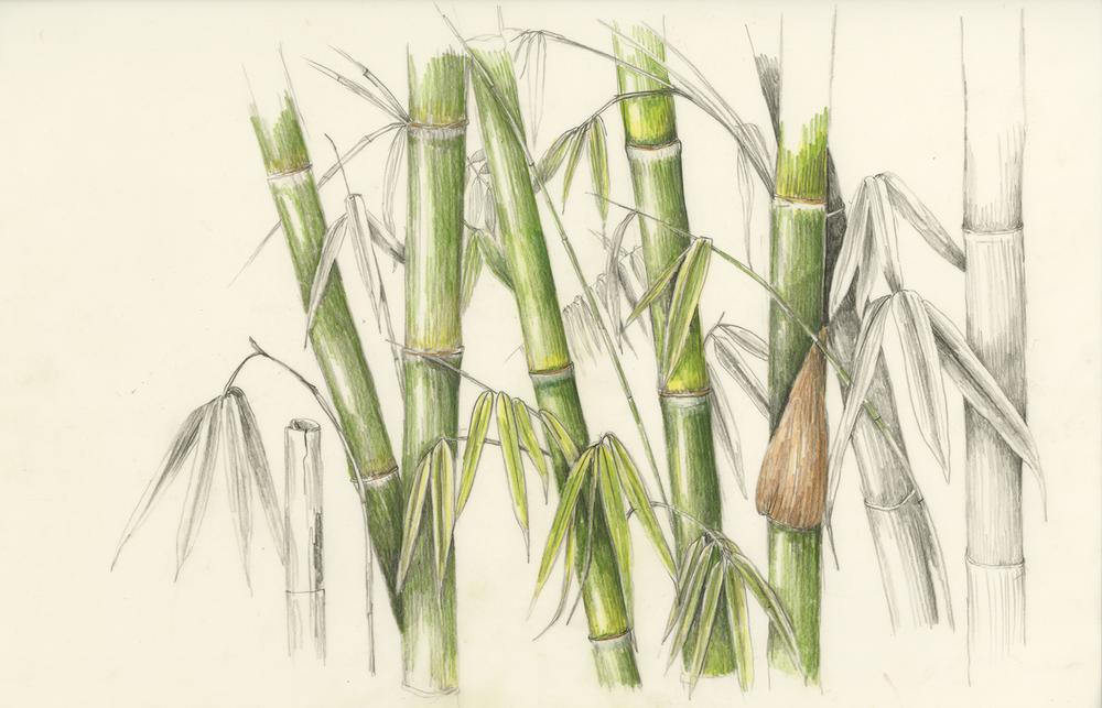 Ohe/Bamboo - Schizostachyum glaucifolium