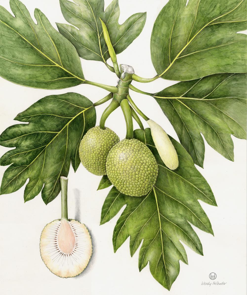 Canoe Plants3 — Botanical Artist & Illustrator, Learn to ... Breadfruit Tree Drawing