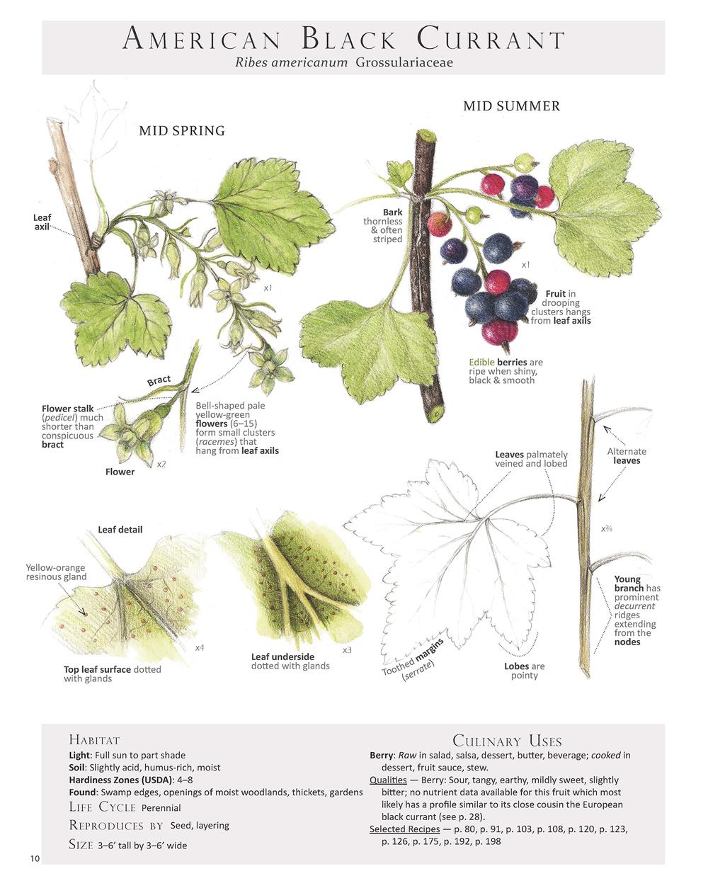 American Black Currant - Ribes americanum
