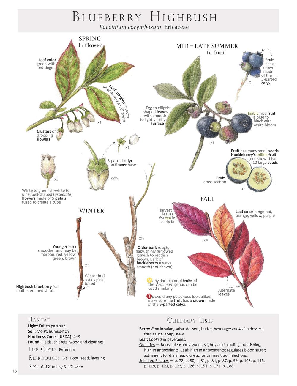 Blueberry Highbush - Vaccinium corymbosum