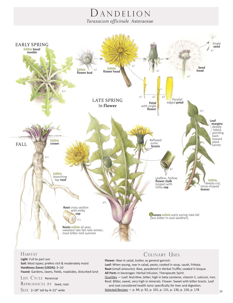 Plant id pages botanical artist illustrator learn to draw art dandelion taraxacum officinale ccuart Image collections