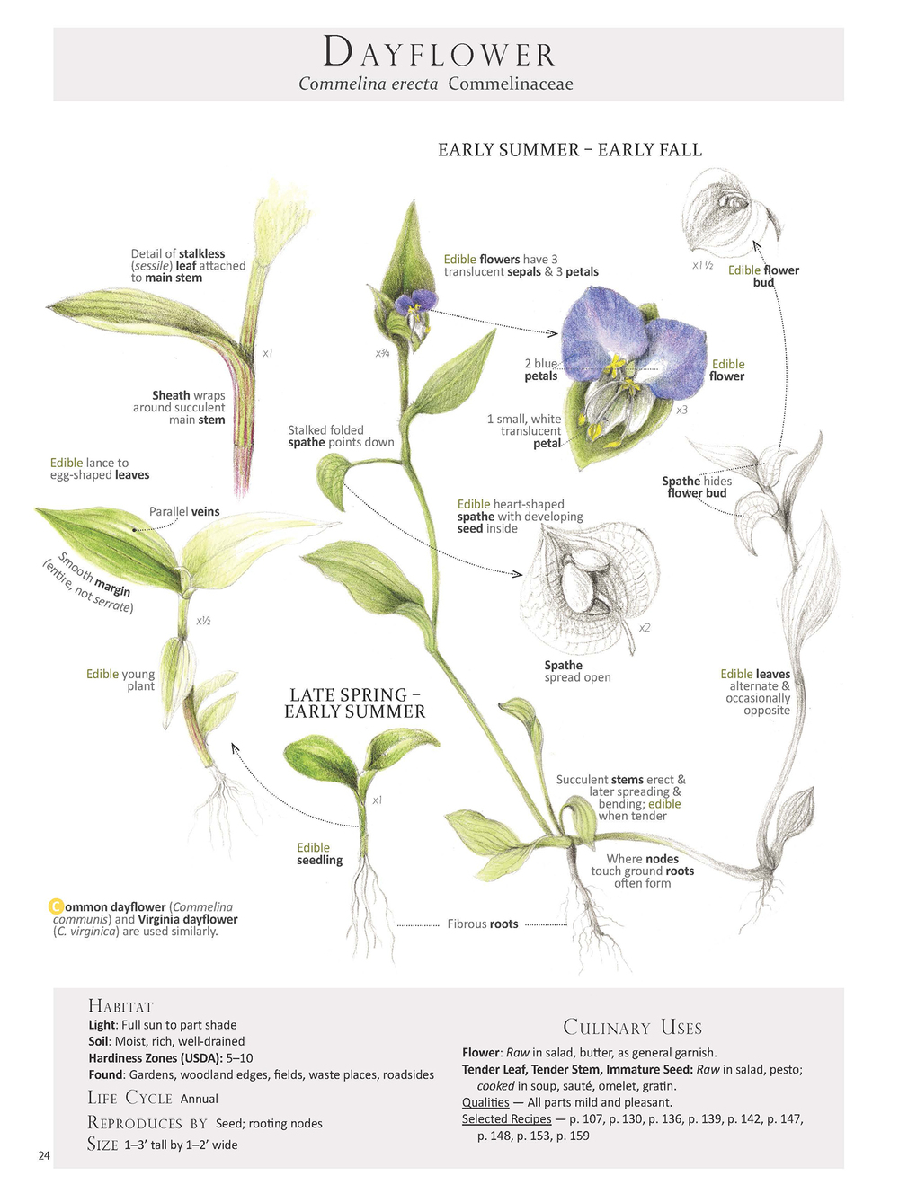 Dayflower - Commelina erecta
