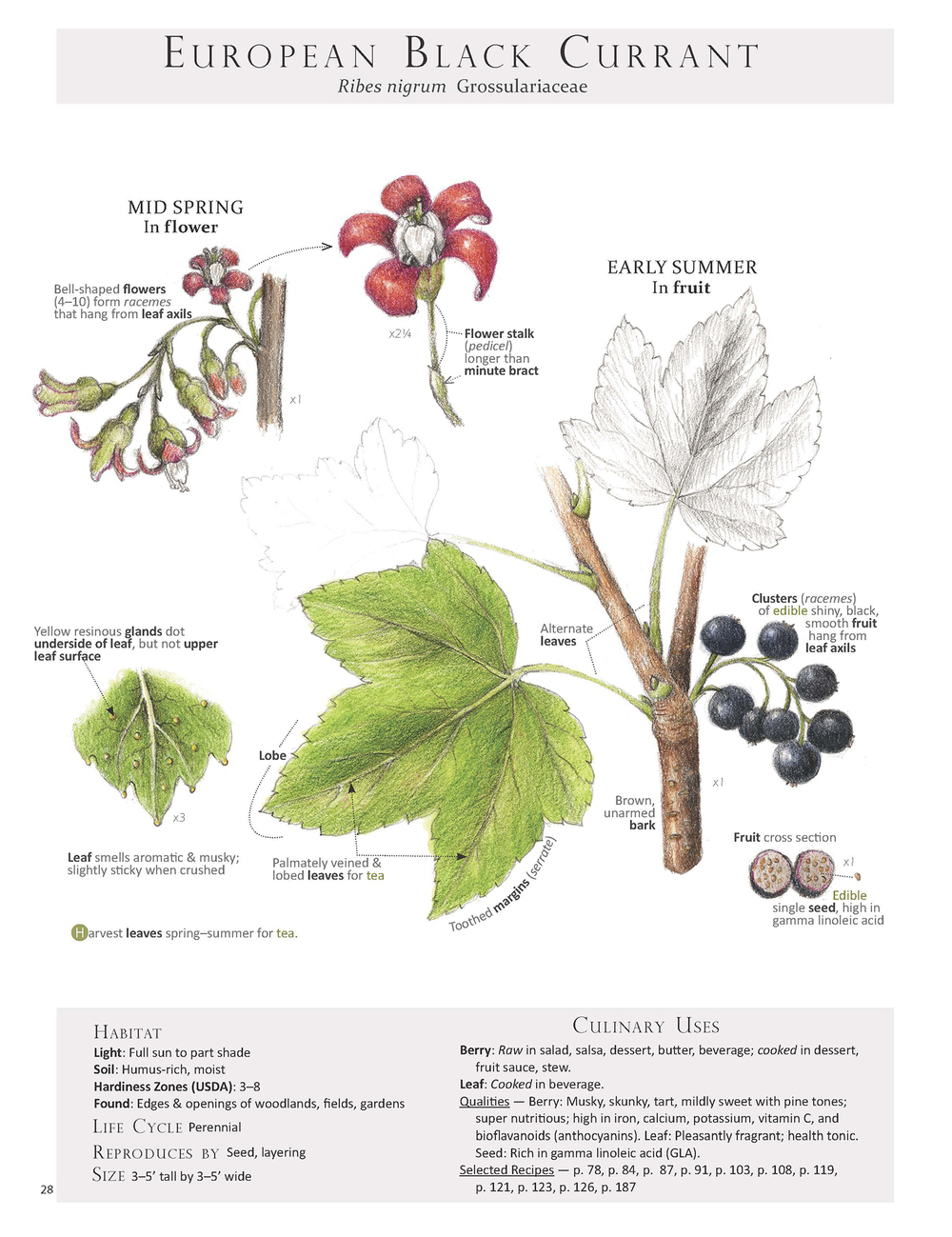 European Black Currant - Ribes nigrum