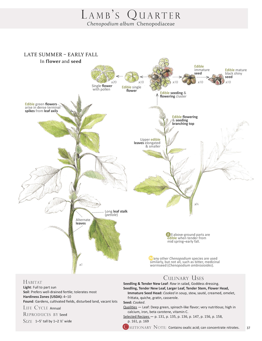 Lamb's Quarter - Chenopodium album