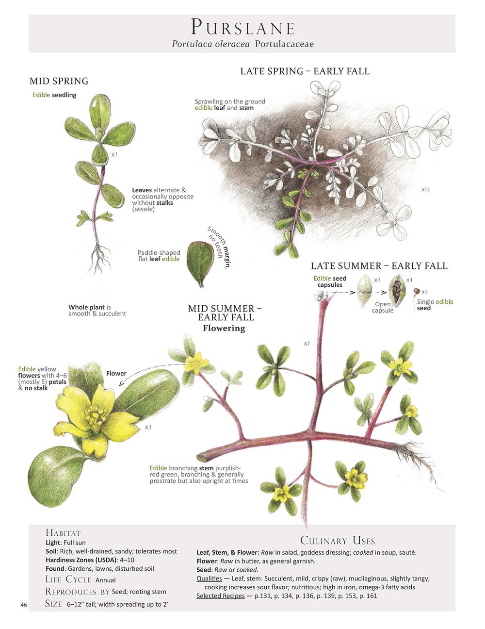 Purslane - Portulaca oleracea
